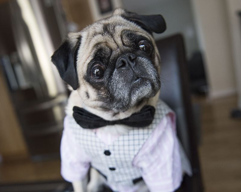 Pug Rescue Profile Pugs Puppies Pugs Cute Animals Pug Rescue