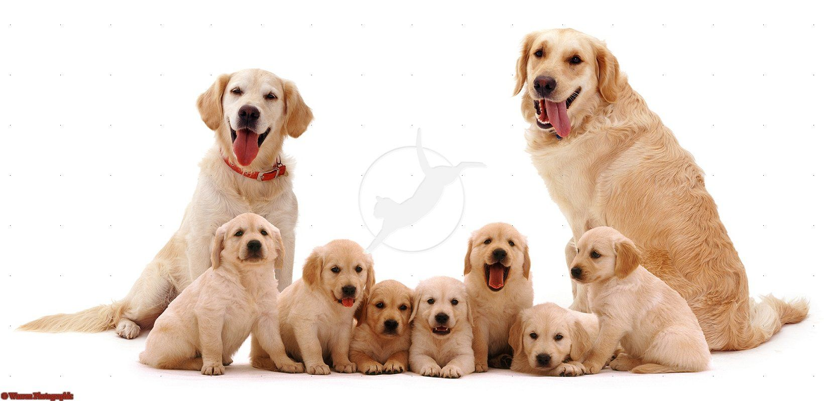 Google Image Result For Http Www Warrenphotographic Co Uk Photography Bigs 06465 Golden Retriever F Golden Retriever Family Golden Retriever Puppy Dog Photos