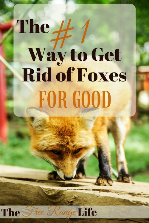 The Number 1 Way To Get Rid Of Foxes For Good Chickens Backyard Laying Chickens Laying Chickens Breeds