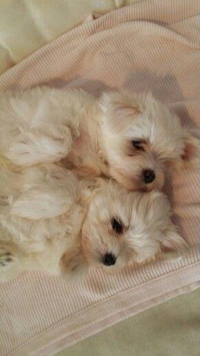Maltese Maltese Dogs Maltese Puppy Cute Puppies