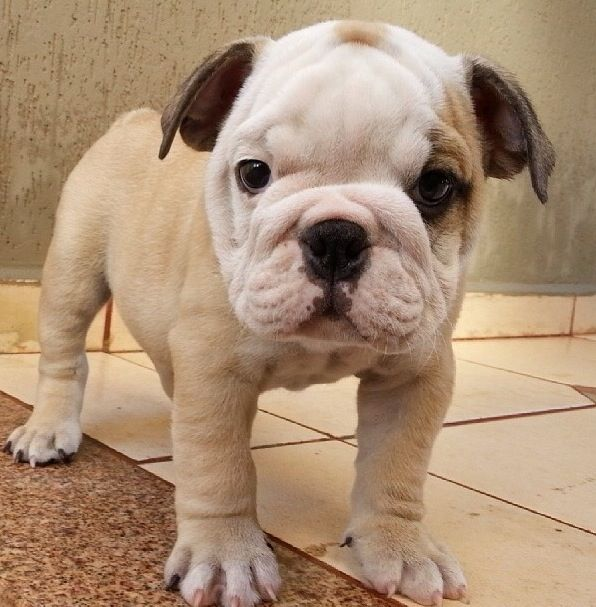 Perfect Cute Animals English Bulldog Puppies Cute Dogs