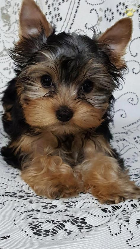 14 Photos Of Yorkshire Terriers So Cute You Ll Be Wagging Your Tail Yorkshire Terrier Puppies Yorkshire Terrier Dog Yorkie Puppy