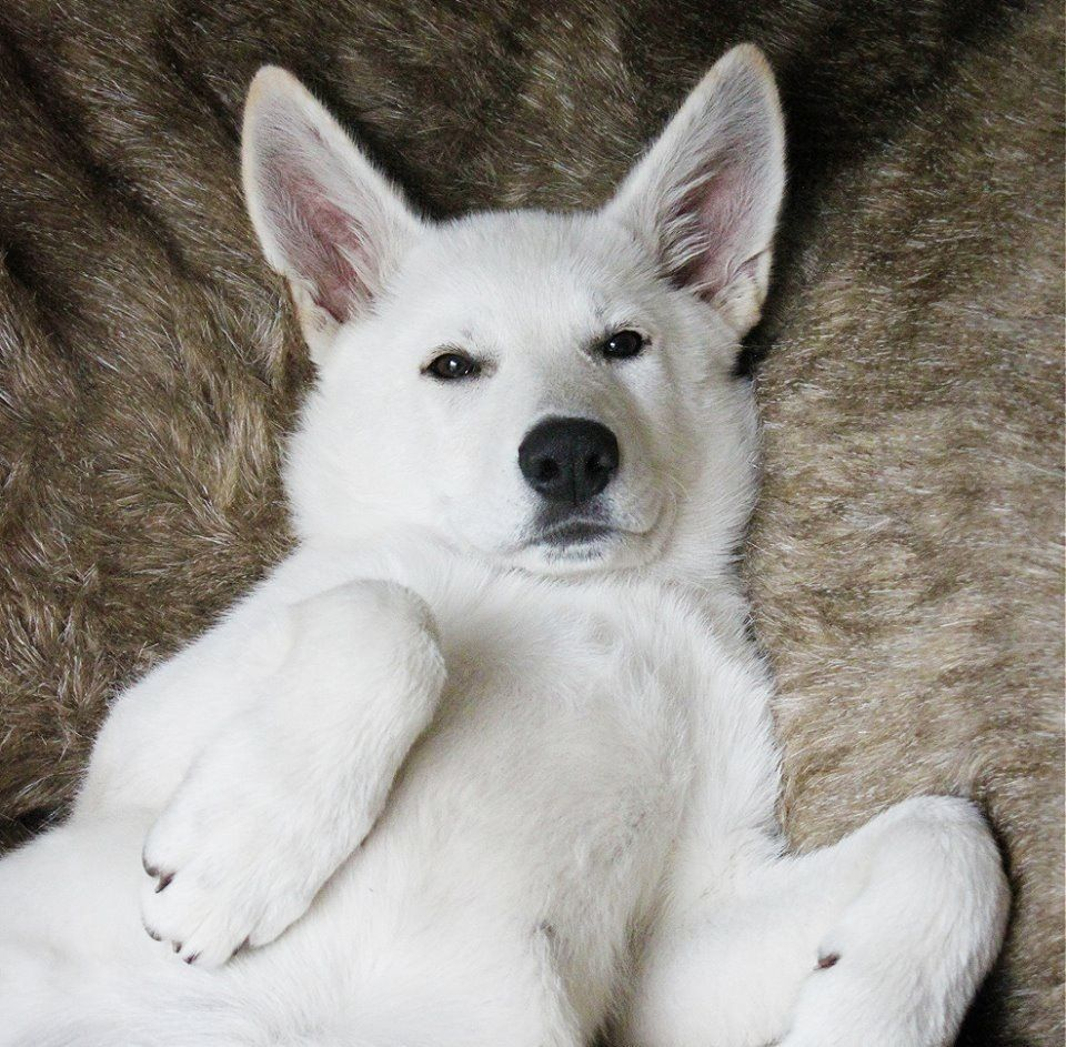 White German Shepherd Dogs Puppies For Sale In Russia