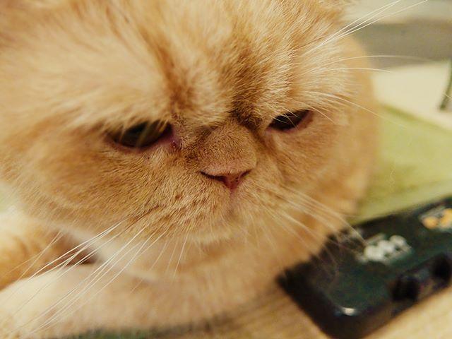 ねこ店長さんの近くのホカペのコントローラーを死守する仕事に従事するちまき #ねこカフェなる #猫カフェなる #長野県長野市 #猫カフェ #naganojapan #catcafe #nekocafenaru #nekocafe #neko #catscafe #catstagram #cats_of_instagram #catstuff #cat #cats #ねこカフェ #ネコカフェ #ちまき #エキゾチックショートヘア