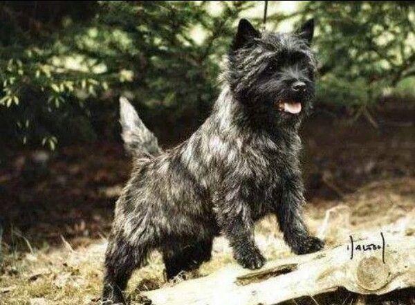 Cairn Terrier Cairn Terrier Cairn Terrier Puppies Terrier Dog