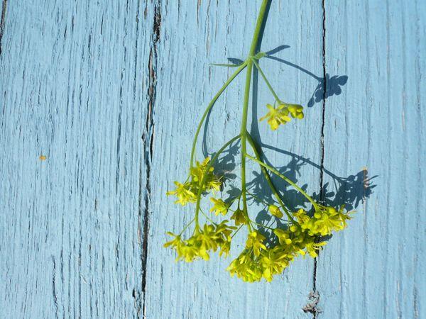 Fleur de pastel © Graine de Pastel
