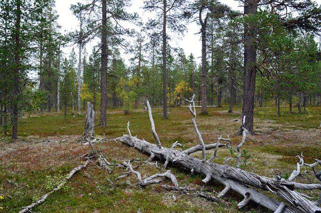 Vanhaa metsää Kiiloselällä