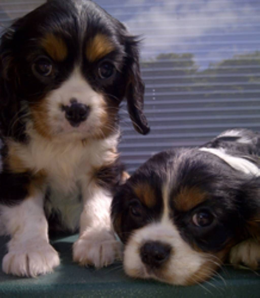 The Cavalier King Charles Spaniel Is A Small Spaniel Classed As A Toy Dog By The Kennel Club And The American Kennel