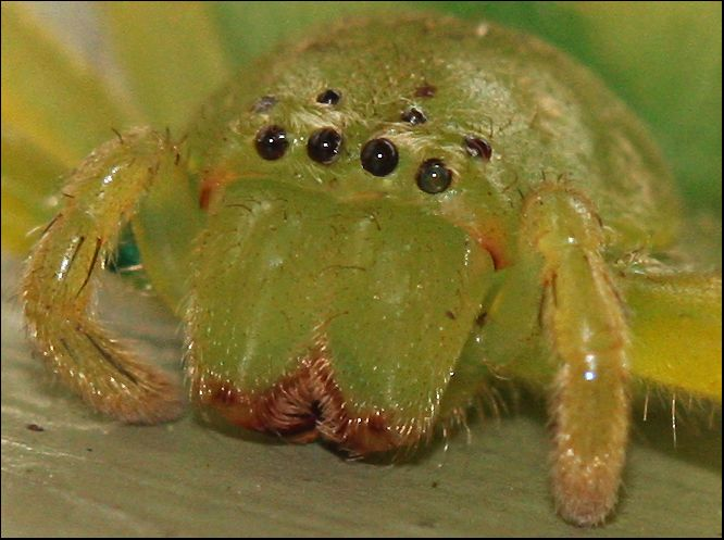 Giant Green Huntsman's Face, Australian spider by Firey