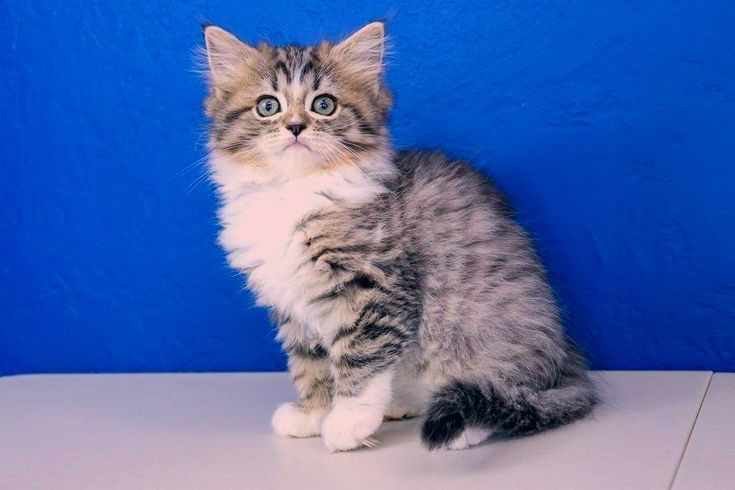 Ragdoll Kittens Black Cats And Kittens In 2020 With Images Ragdoll Kittens For Sale Ragdoll Kitten Ragamuffin Kittens