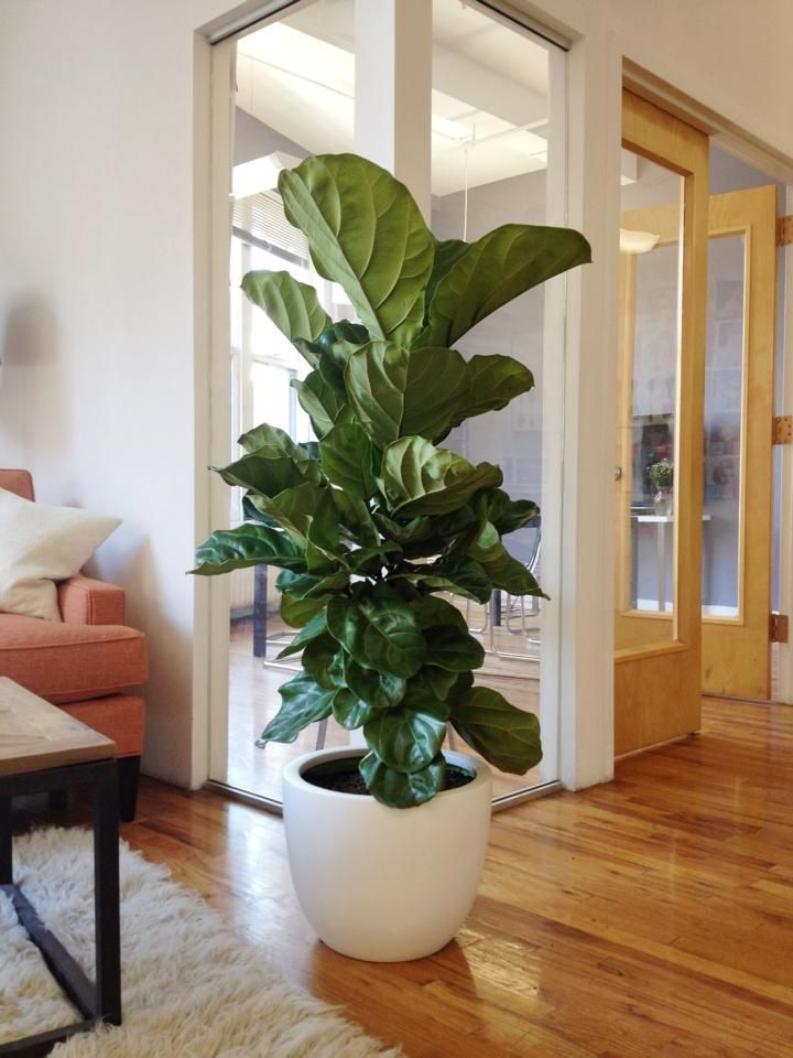 fiddle leaf fig tree from the sill for purewow 39 s nyc office bts pinterest plantes. Black Bedroom Furniture Sets. Home Design Ideas
