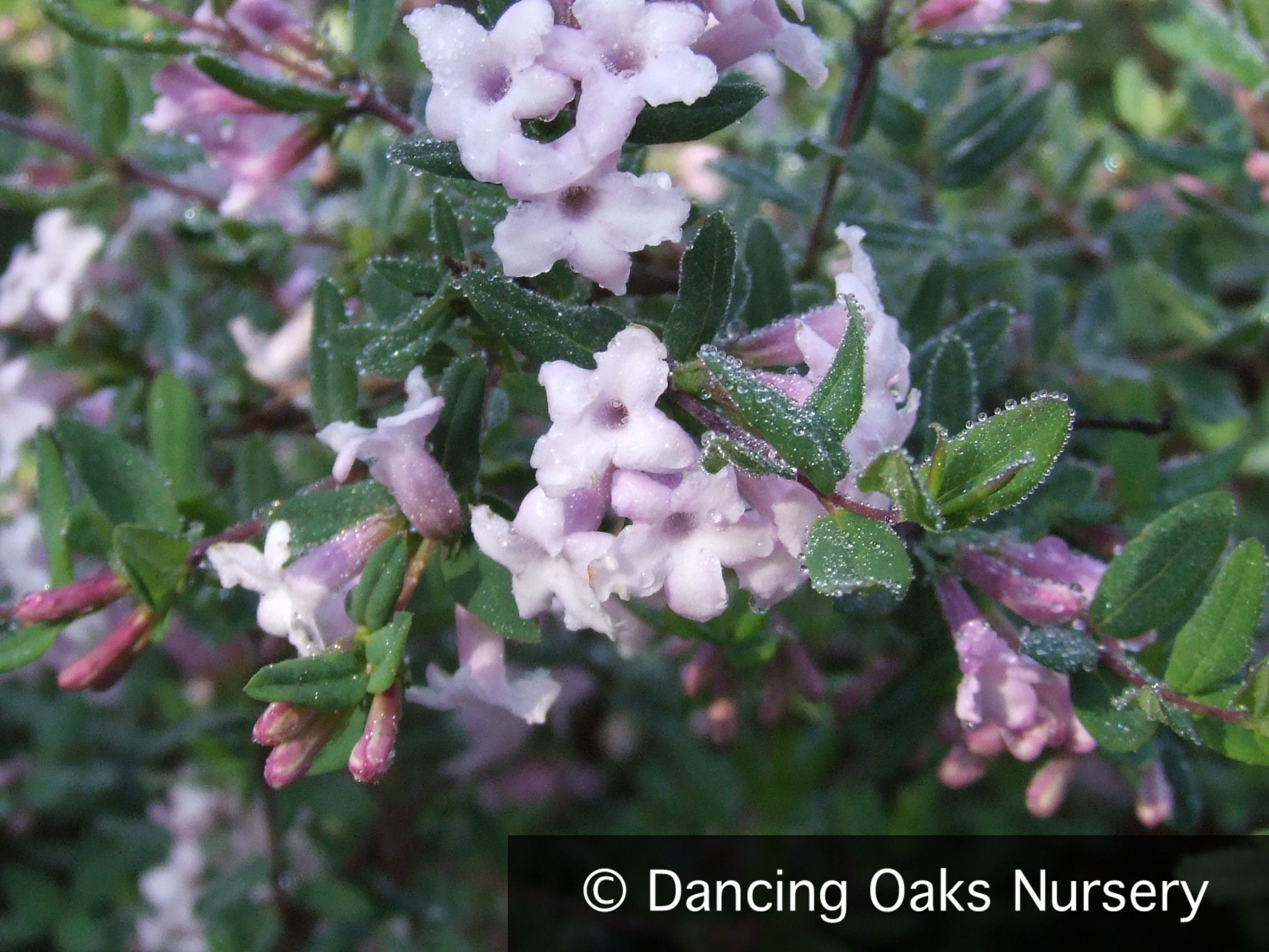 Lonicera Syringantha Lilac Honeysuckle Naturalistic Garden Lilac Pink Flowers