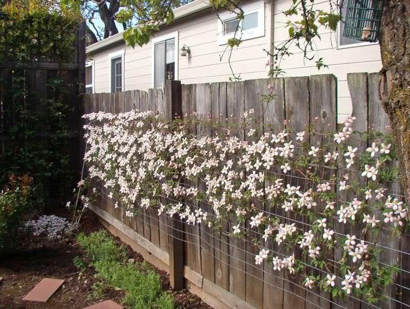 clematis montana rubens pinteres. Black Bedroom Furniture Sets. Home Design Ideas