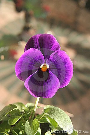 Pansy Flower Close Up Stock Photos Images Pictures 464 Images Flower Close Up Pansies Flowers