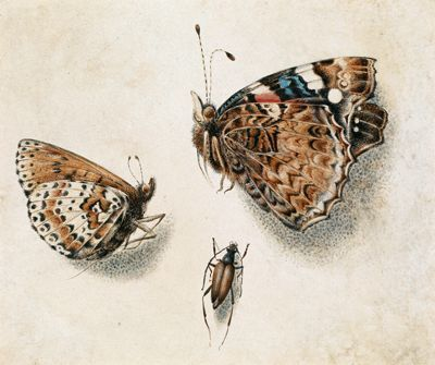 Butterflies and an insect By Giovanna Garzoni (1600 - 1670)