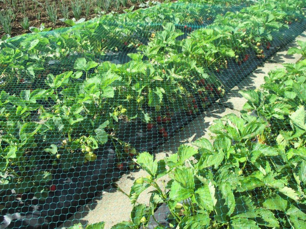 utiliser un filet anti oiseaux pour prot ge les fraises planter des fraisiers sans entretien. Black Bedroom Furniture Sets. Home Design Ideas