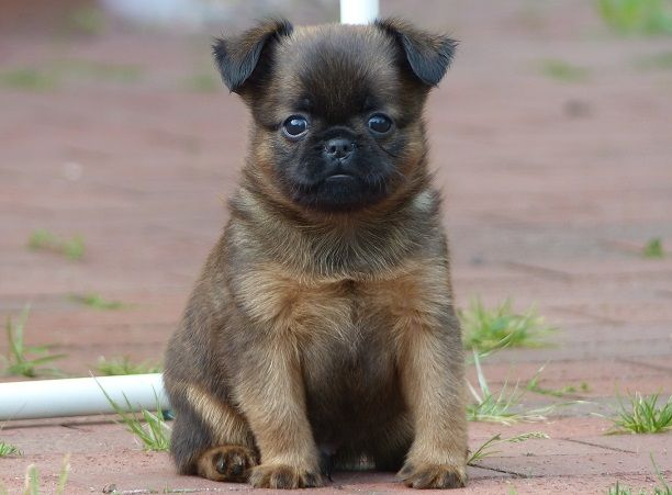 Pug Brussels Griffon Pug Mixed Breeds Pugs Cute Little Animals