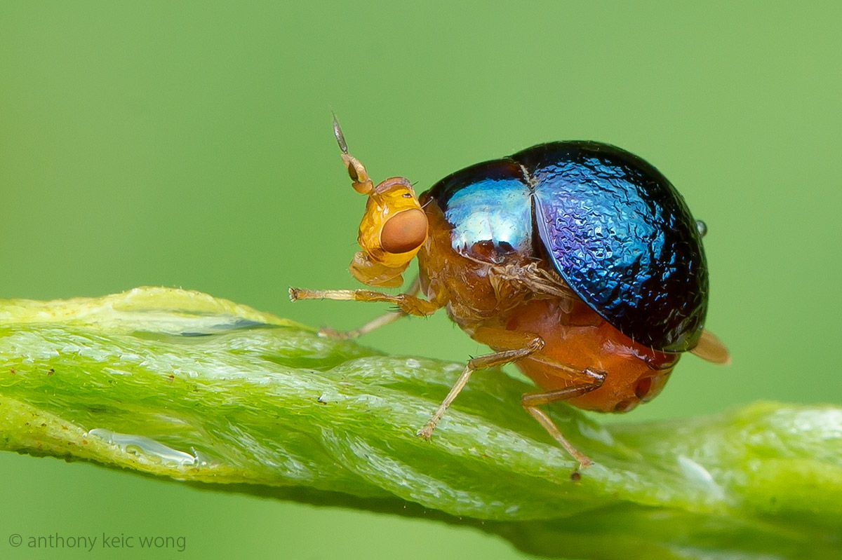 Beetle Fly Celyphidae Nature Animals Fauna Animals