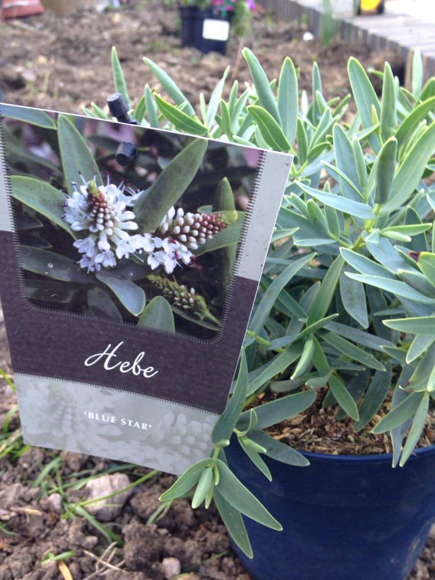 Hebe Blue Star Evergreen Bluegreen Leaves And White Flowers In