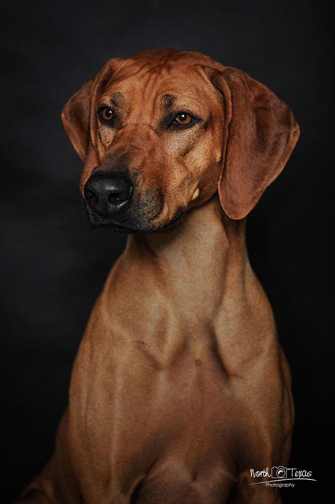 Pin By Terry Bishop On Rhodesian Ridgeback Dog In 2020 With Images Rhodesian Ridgeback Dogs Rhodesian Ridgeback Dog