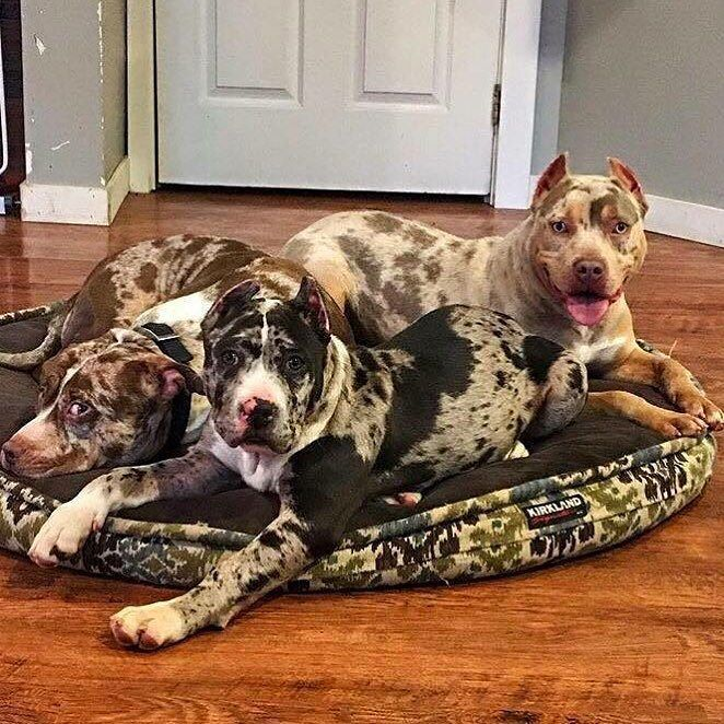 American Bully on Instagram Owned by megabuiltbullies  by americanbully You are in the right place about Pet dogs pitbull Here we offer you the most beautiful pictures ab...