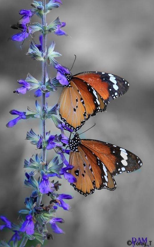 ภเгคк ค๓ Papillons Pinterest Mariposas Mariposas Reales Y