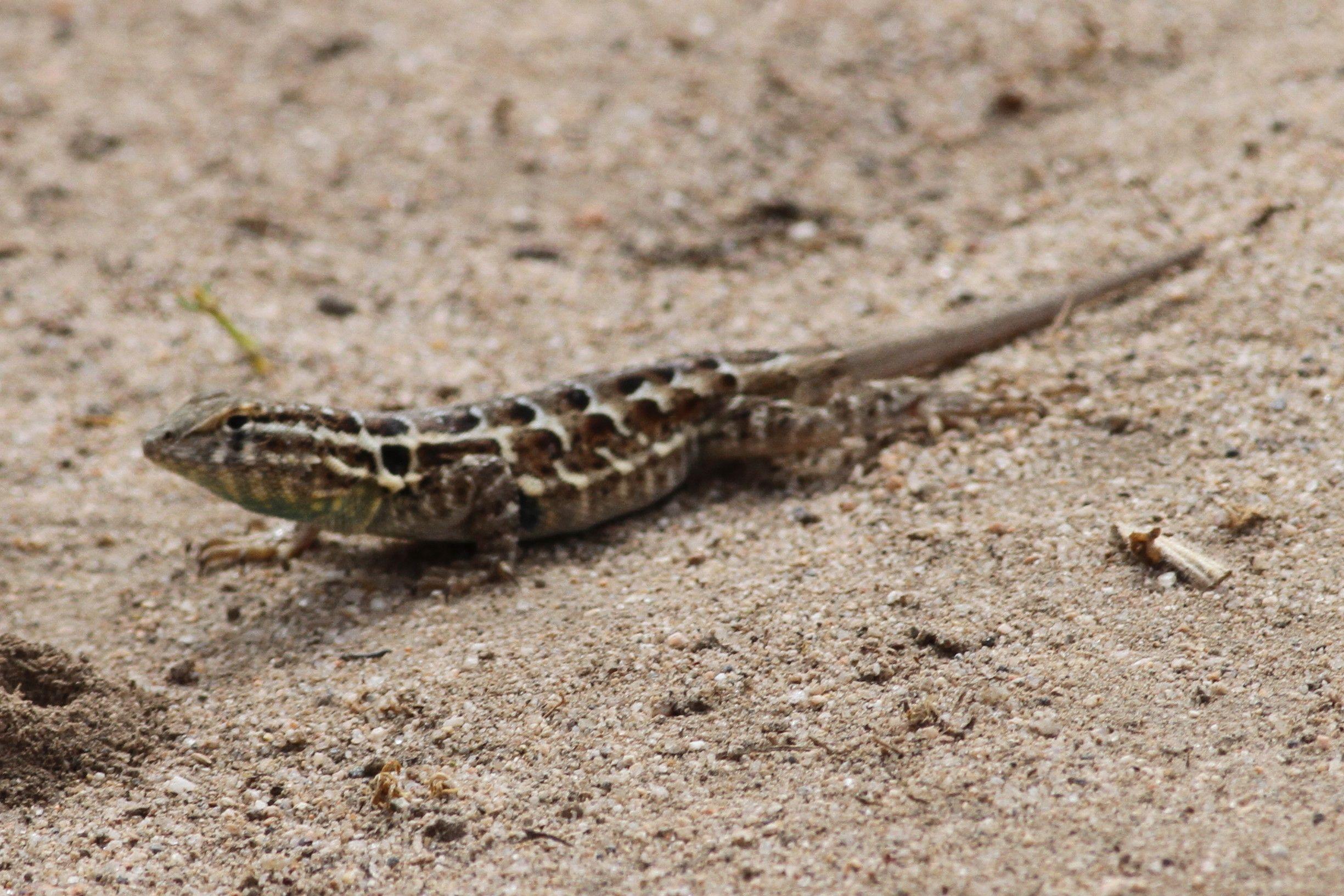 Side Blotched Lizard Bolsa Chica Ecological Reserve Lizard
