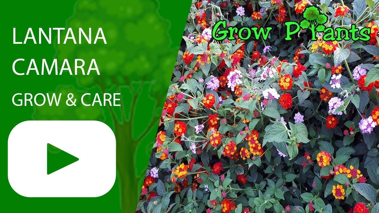 Lantana Camara Flowers Grow Care Plant Information Climate Hardiness Zone Uses Growth Speed Water Requireme Lantana Lantana Camara Plant Information