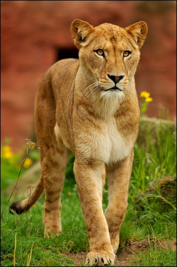killer queen barbary lioness by svenimal animal magnetism