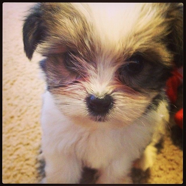 Maizey Mae 3 Shorkie Shorkie Puppies Puppies Pets