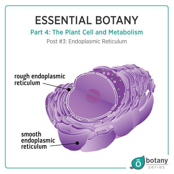 The endoplasmic reticulum (ER) has two parts; the smooth ...
