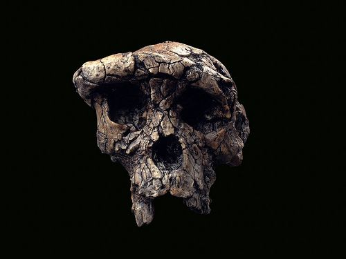 Hominid_Skull-Sahelenthropus_tchandensis-Toumai_001.jpg by NCSSMphotos, via Flickr