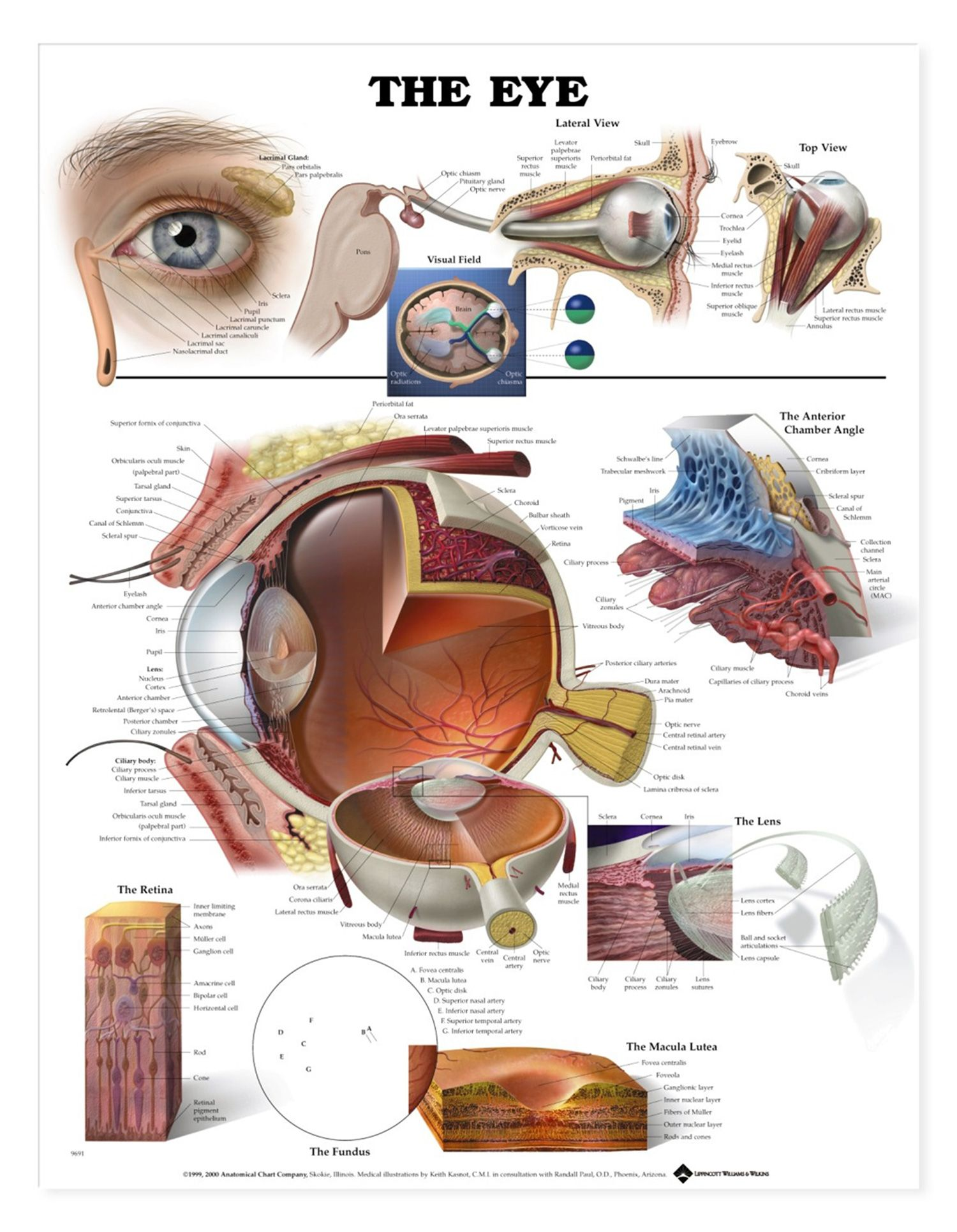 Eye Anatomical Chart Nurseudy The Art Science Of Awesome