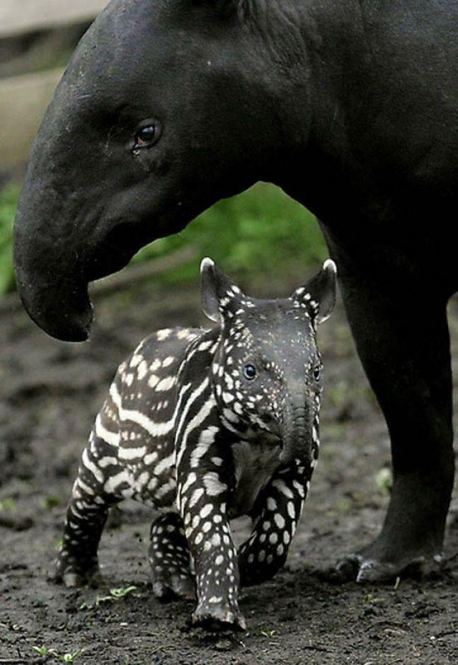 Mama tapir and baby tapir in his pajama-like coat. | Cute animals, Animals,  Baby animals