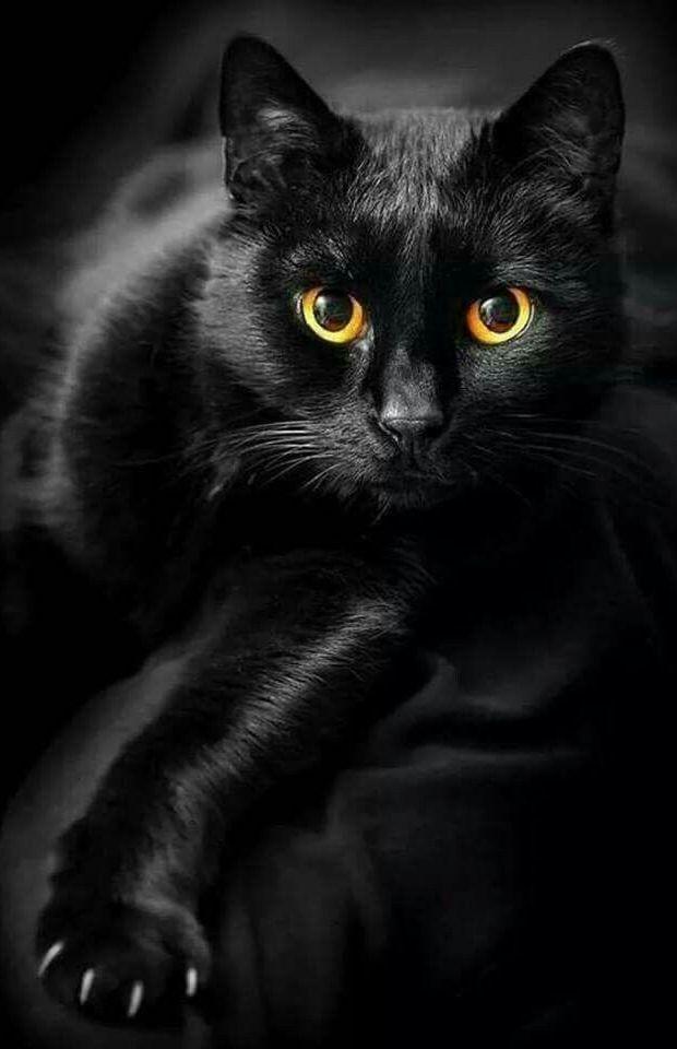 Photo of O gato preto: história, lendas e superstições dos mais belos felinos • mundo dos animais