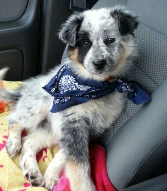 Omg Aussie Blue Heeler Mix Cute Dog Mixes Australian Shepherd Blue Heeler Cute Dogs
