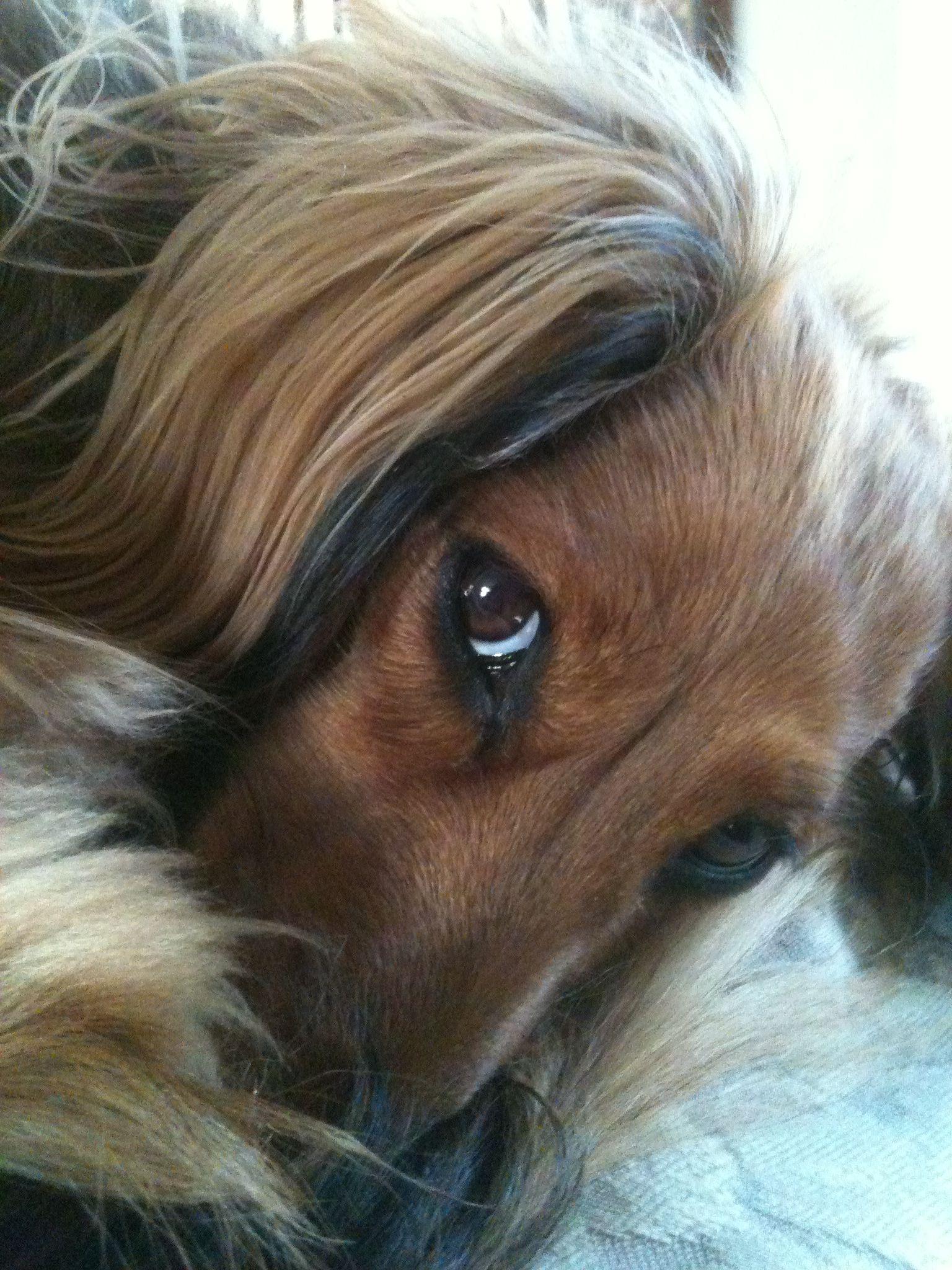 Long Haired Dachshund Long Haired Dachshund Dachshund Puppy