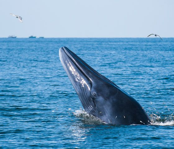 Save Bryde S Whales From Extinction The Humane Society Of The United States Bryde S Whale Humane Society Whale