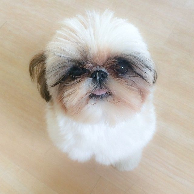 Another Cute Shih Tzu Shihtzu Shih Tzu Pinterest Shih Tzu