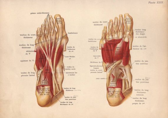 1905 foot muscles tendons & ligaments print by PaperThesaurus ...