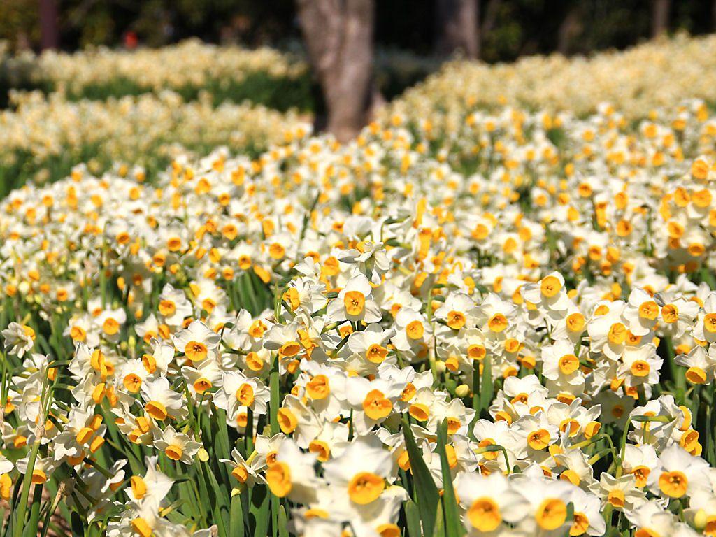壁紙 スイセンの花 Xgaデスクトップ水仙の壁紙 スイセン 四季 の