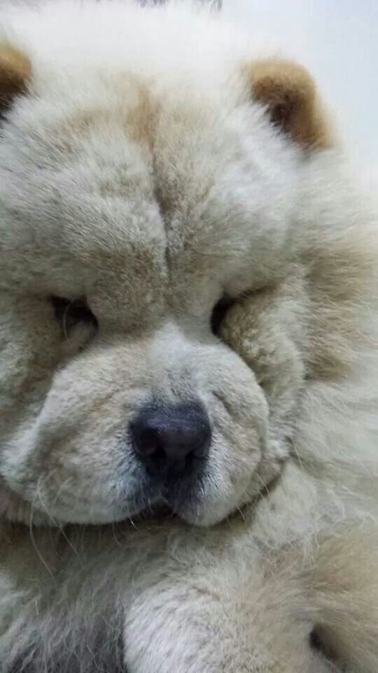 Beautiful Color Chow Chow Dogs Chow Chow Cute Puppies