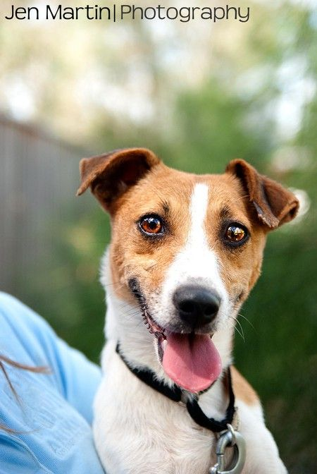Help Save Betty Boo A Fox Terrier X Fox Terrier Dog She Is At Animal Welfare League Nsw A Sweet Loving Gi Help These Shelter Doggies Find A Home Terri