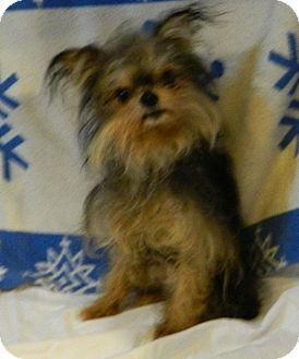 Rossford, OH - Yorkie, Yorkshire Terrier. Meet HENRY, a dog for adoption. http://www.adoptapet.com/pet/11980400-rossford-ohio-yorkie-yorkshire-terrier