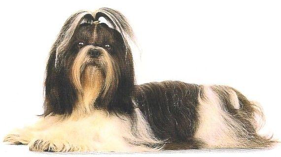Shih Tzu Dogs 12 X Six Inch Fabric Squares Two Styles Etsy Shih Tzu Dog Shih Tzu Cavalier King Charles Spaniel