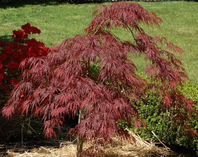 Learn To Grow The Brilliant Crimson Queen Japanese Maple Japanese Maple Tree Maple Tree Landscape Maple Tree Seeds