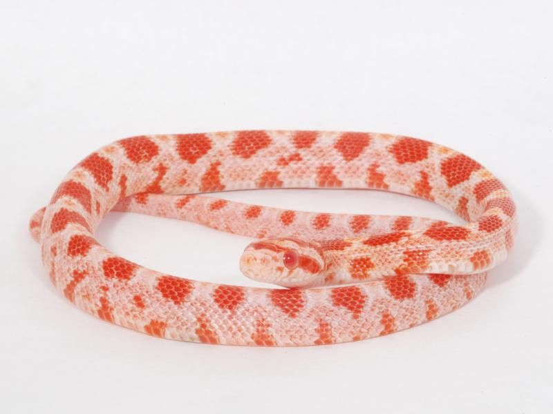 Sunkissed Amelanistic Corn Snake