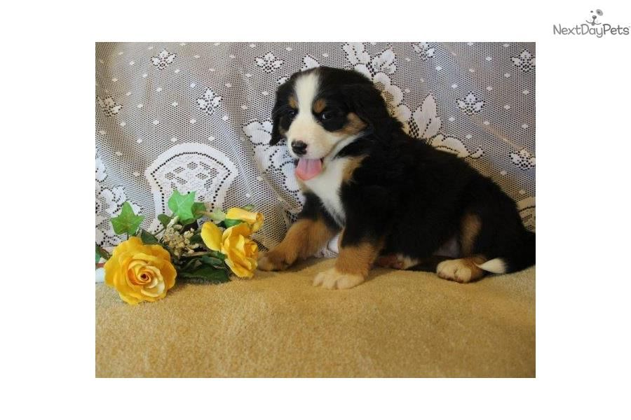 Meet Betsy Gbi A Cute Bernese Mountain Dog Puppy For Sale For 1 000 Betsy Gbi Female Bernese Mountain Do Bernese Mountain Dog Dogs Bernese Mountain Dog Puppy