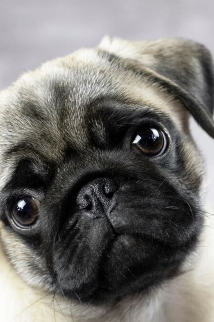Portrait Of A Pug Puppy Cute Funny Face Close Up Pugs Pug Puppy Puppies