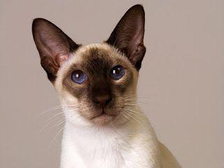 Peter Bald Cat Kenali Karakter Sifat Fisik Kucing Peter Bald Www Agrinak Com Humor Kucing Kucing Siam Kucing Bali
